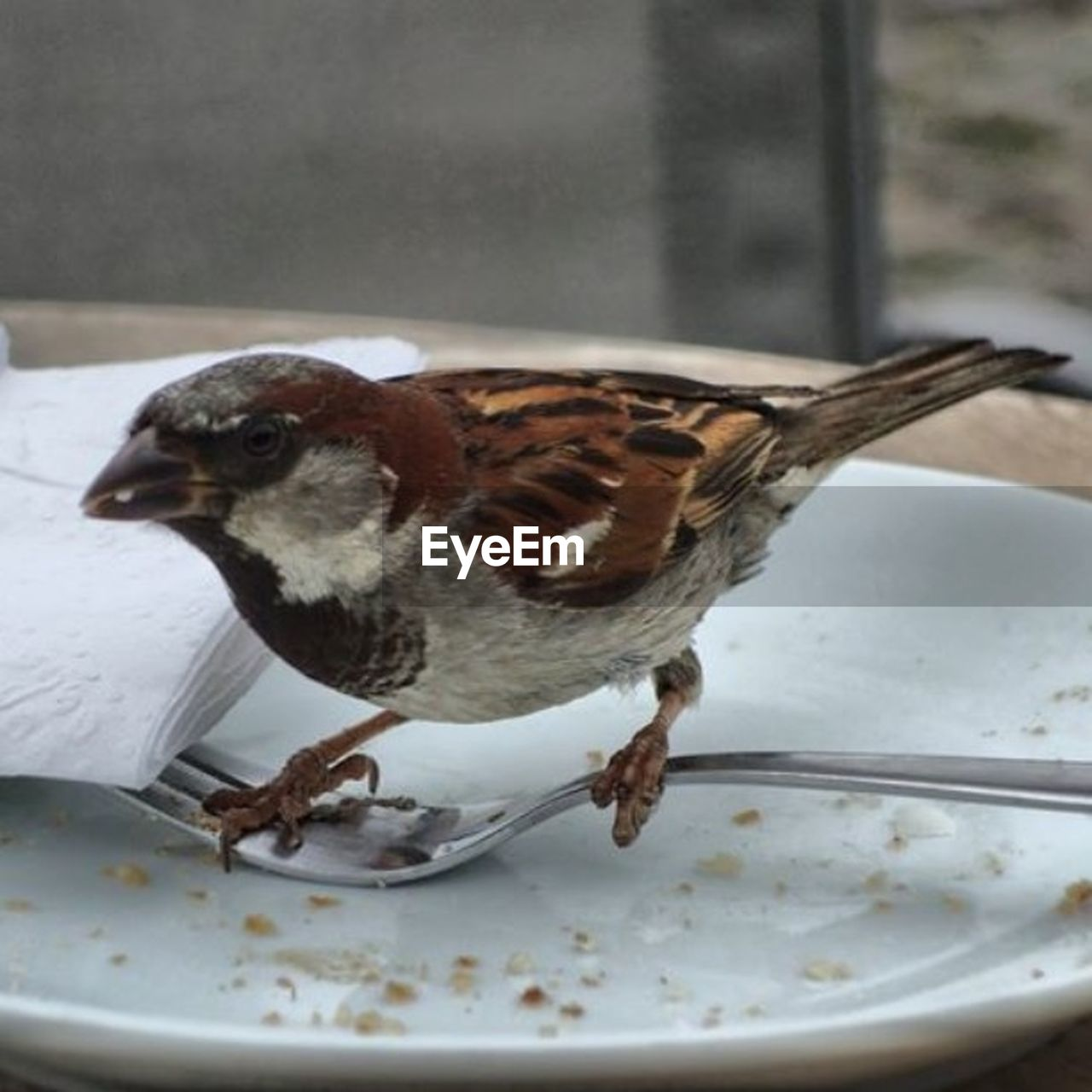 bird, plate, no people, animal themes, eating, one animal, close-up, day, eaten, food, sparrow, outdoors