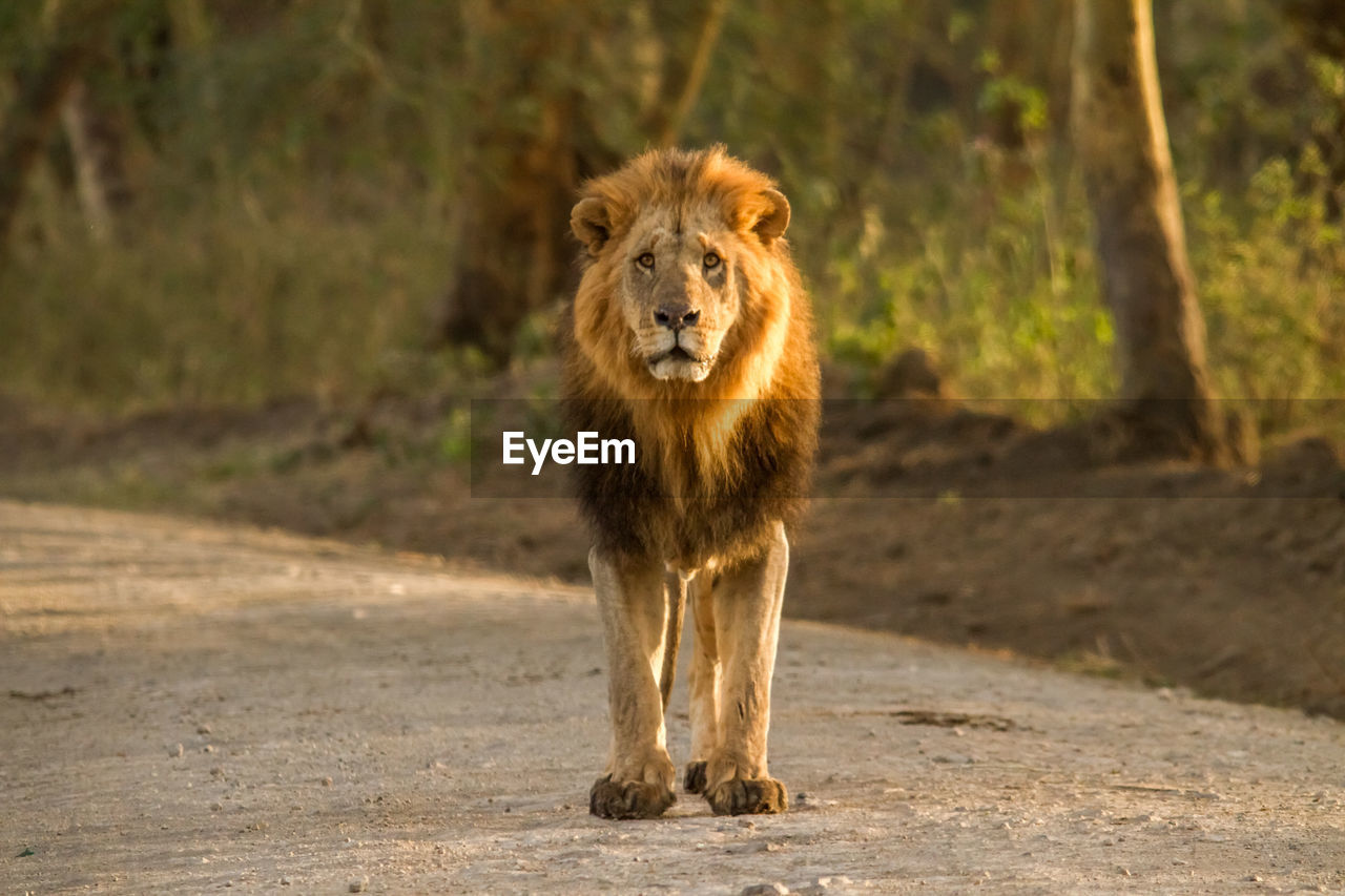 mammal, animal wildlife, one animal, animals in the wild, animal themes, animal, vertebrate, lion - feline, land, looking at camera, portrait, feline, day, no people, nature, carnivora, cat, front view, road, outdoors