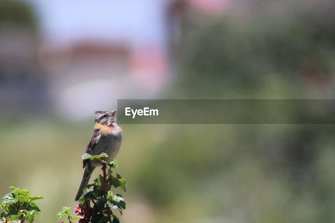 animal themes, animal, animal wildlife, one animal, animals in the wild, vertebrate, bird, perching, no people, plant, day, focus on foreground, nature, green color, outdoors, selective focus, songbird, beauty in nature, sparrow, tree, small
