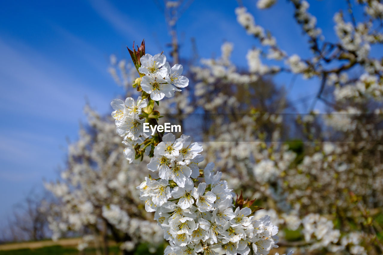 flowering plant, flower, fragility, plant, vulnerability, freshness, beauty in nature, growth, petal, close-up, nature, white color, flower head, blossom, tree, focus on foreground, day, springtime, cherry blossom, sky, no people, pollen, outdoors, cherry tree, pollination