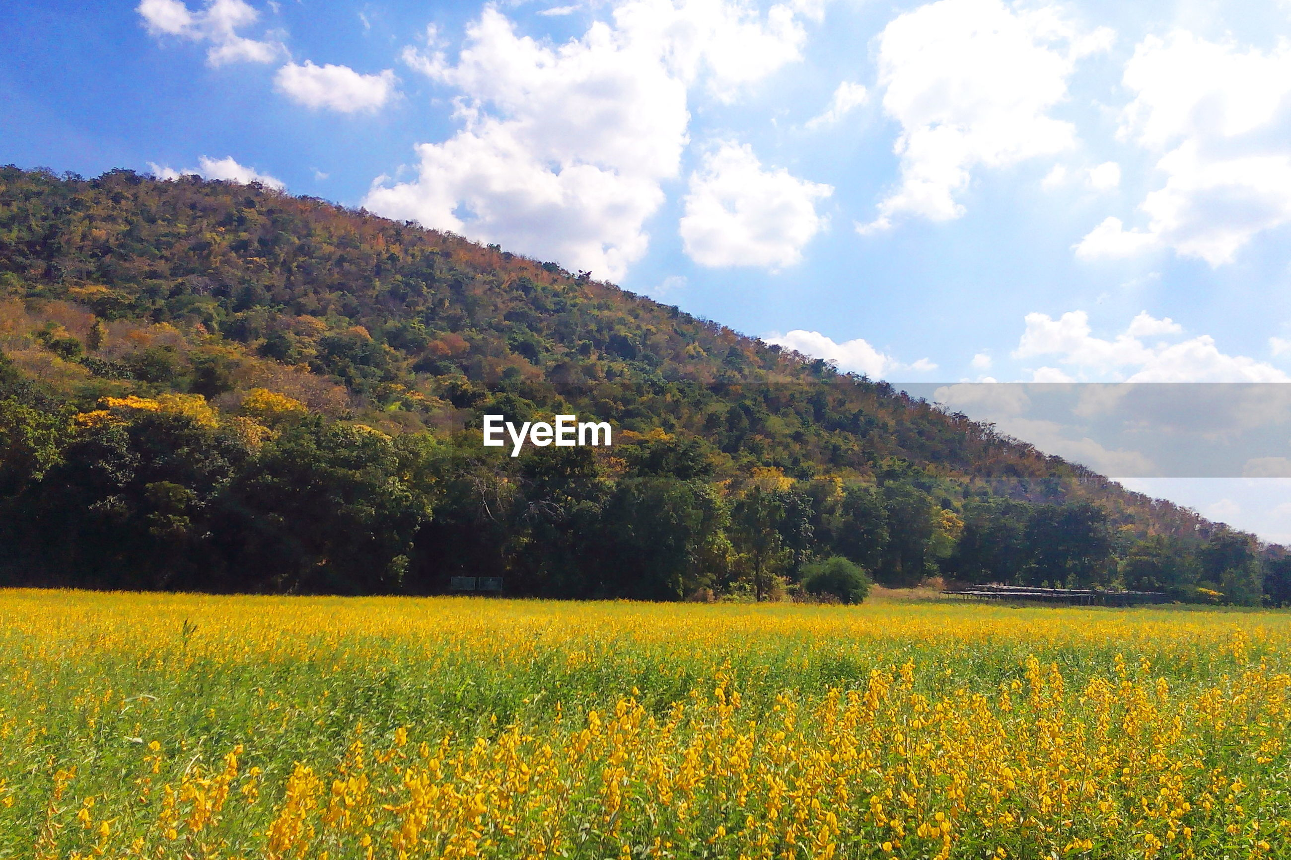 SCENIC VIEW OF YELLOW FLOWERING PLANTS ON FIELD AGAINST SKY