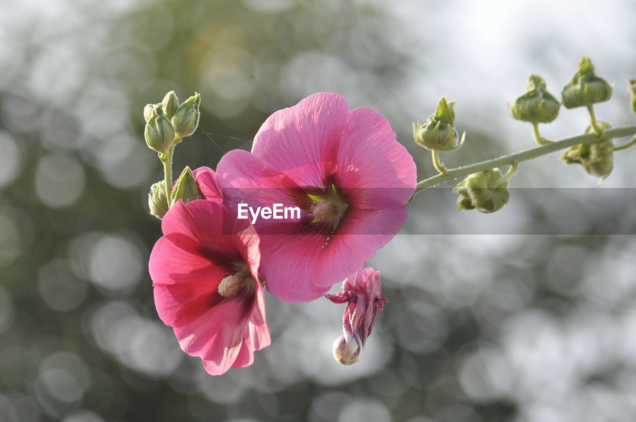 flower, flowering plant, plant, vulnerability, fragility, beauty in nature, petal, pink color, freshness, flower head, growth, inflorescence, close-up, focus on foreground, nature, no people, day, pollen, outdoors, hibiscus