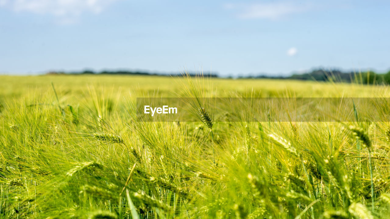 plant, green color, growth, field, land, beauty in nature, landscape, environment, nature, sky, grass, tranquility, agriculture, selective focus, day, crop, no people, tranquil scene, scenics - nature, rural scene, outdoors