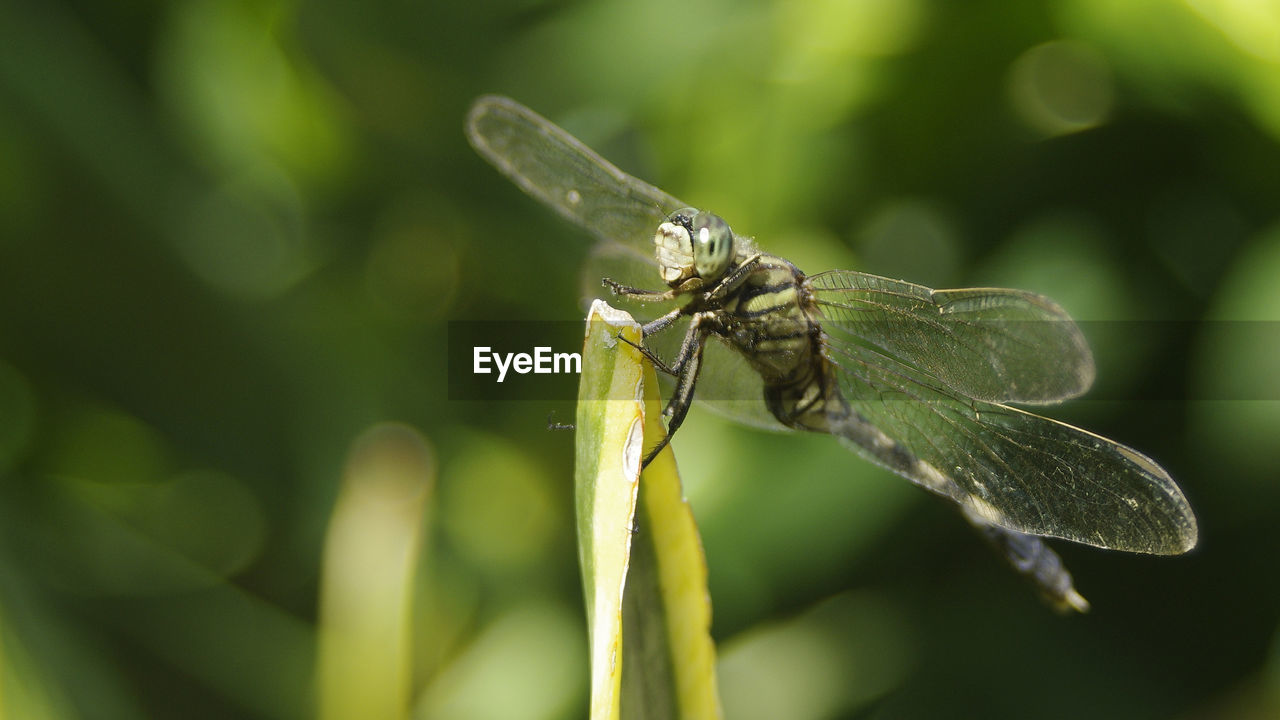 insect, one animal, animal themes, green color, animals in the wild, leaf, close-up, focus on foreground, animal wildlife, no people, day, outdoors, nature, damselfly