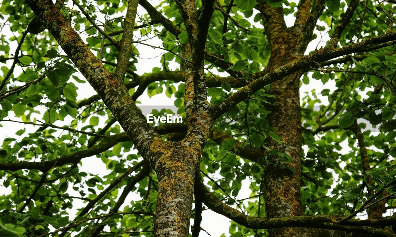 tree, plant, low angle view, branch, growth, day, nature, no people, tree trunk, trunk, outdoors, green color, leaf, plant part, beauty in nature, tranquility, forest, sky, backgrounds, full frame, tree canopy