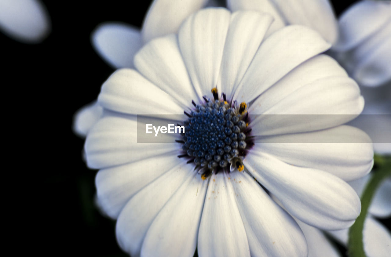 flowering plant, flower, fragility, vulnerability, petal, close-up, plant, freshness, flower head, inflorescence, growth, beauty in nature, pollen, no people, nature, focus on foreground, white color, day, outdoors, purple