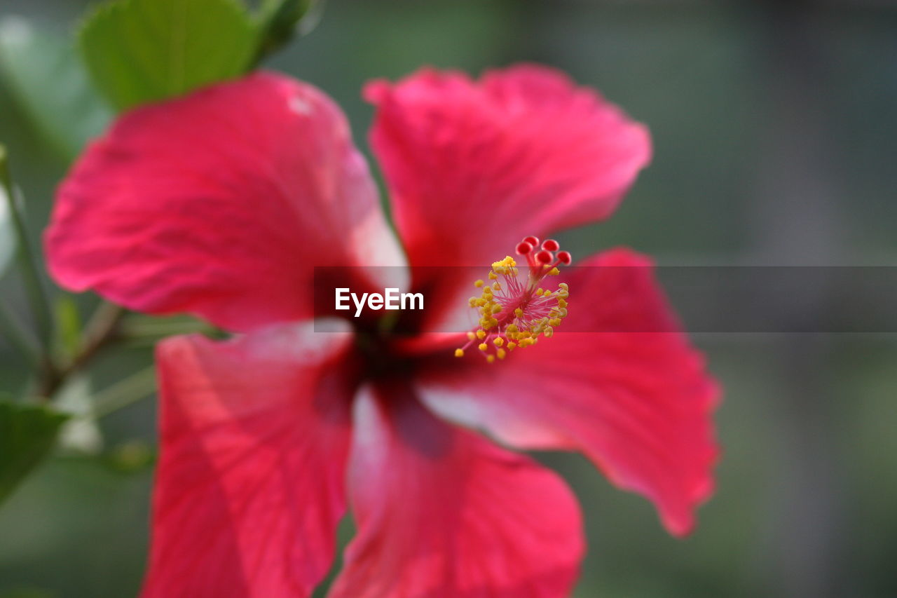flower, petal, fragility, flower head, nature, beauty in nature, growth, freshness, plant, blooming, outdoors, pollen, close-up, no people, red, day, focus on foreground, stamen, one animal, hibiscus, animals in the wild, animal themes, zinnia