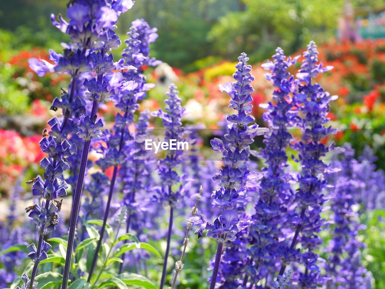 flower, flowering plant, vulnerability, purple, plant, fragility, growth, beauty in nature, freshness, close-up, lavender, nature, selective focus, day, petal, no people, lavender colored, field, inflorescence, land, flower head, springtime, gardening, flowerbed