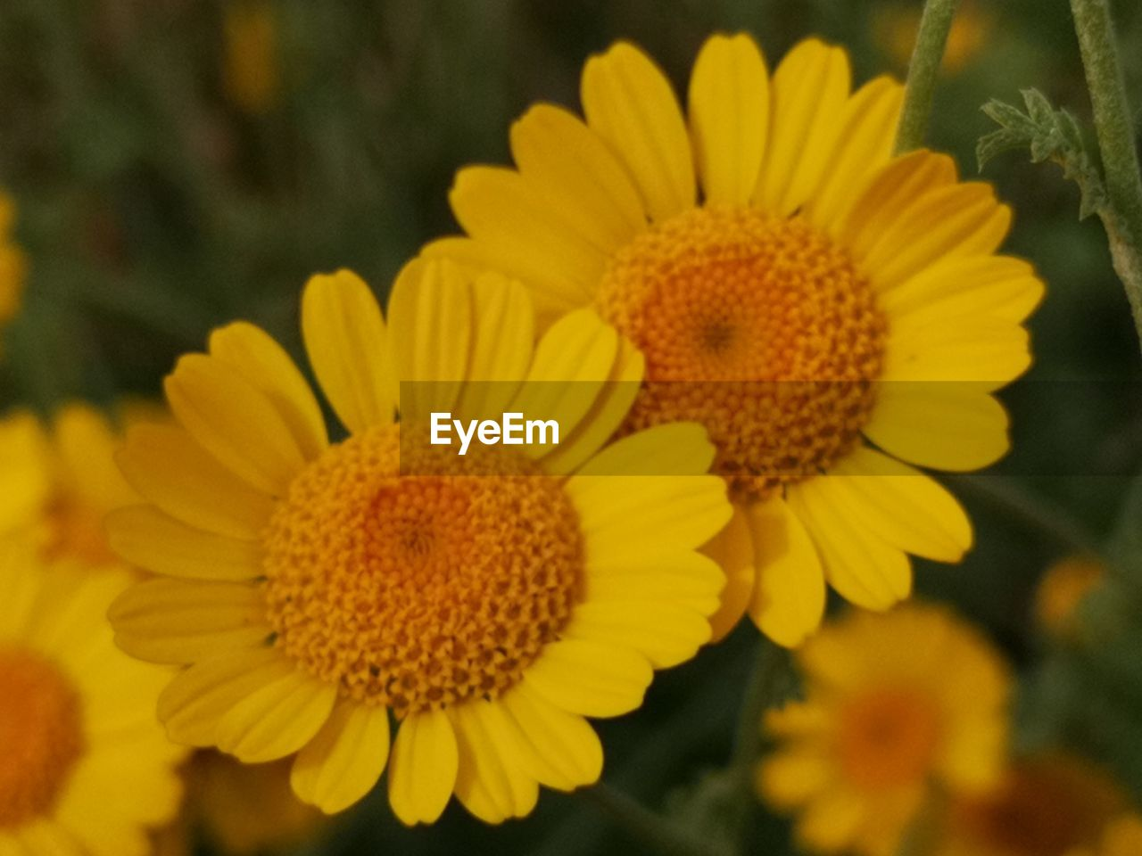 flower, flowering plant, flower head, yellow, freshness, plant, vulnerability, petal, growth, inflorescence, fragility, beauty in nature, close-up, pollen, focus on foreground, no people, nature, sunflower, day, outdoors