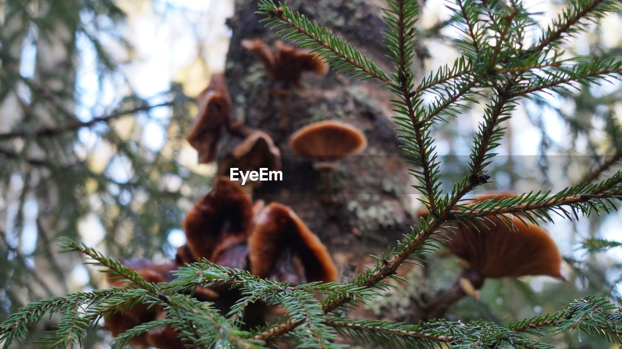 plant, tree, growth, nature, no people, day, close-up, focus on foreground, branch, selective focus, leaf, green color, plant part, pine tree, beauty in nature, outdoors, tranquility, low angle view, pine cone, coniferous tree, needle - plant part, fir tree