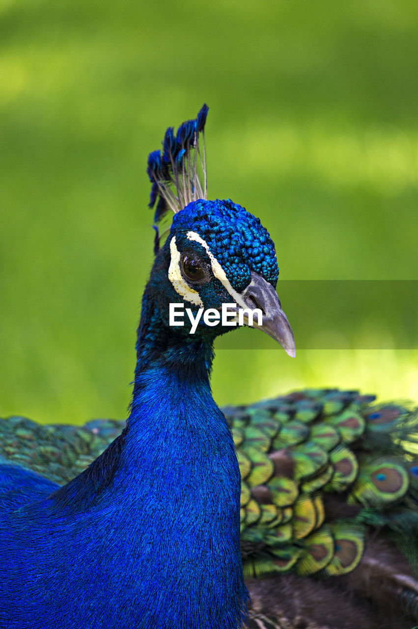 peacock, one animal, bird, animal themes, animals in the wild, animal wildlife, focus on foreground, feather, peacock feather, beauty in nature, close-up, animal crest, nature, green color, beak, day, no people, blue, outdoors, fanned out, multi colored