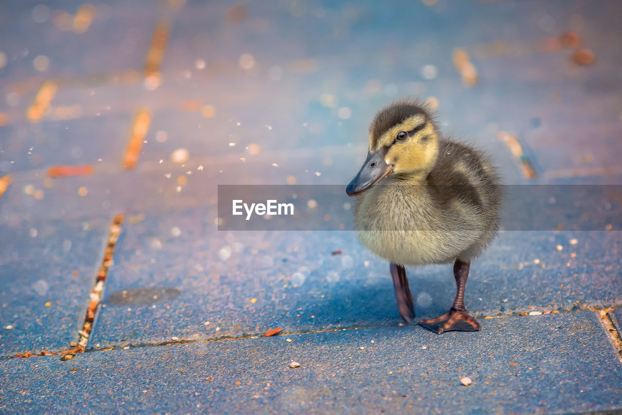 bird, animal, animal themes, vertebrate, young bird, young animal, one animal, animal wildlife, animals in the wild, no people, day, nature, close-up, outdoors, poultry, water, duck, focus on foreground, duckling, gosling