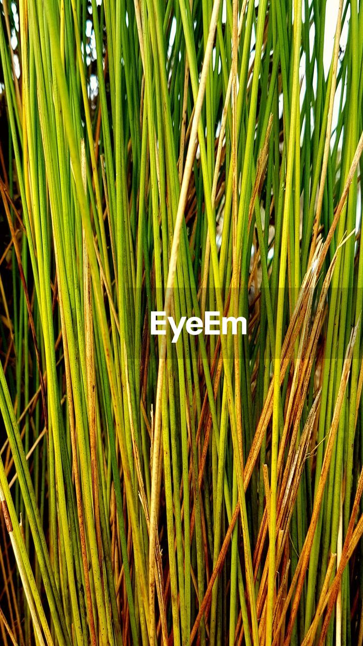 growth, green color, plant, nature, agriculture, grass, day, field, outdoors, backgrounds, cereal plant, full frame, beauty in nature, tranquility, close-up, no people, rice paddy, freshness