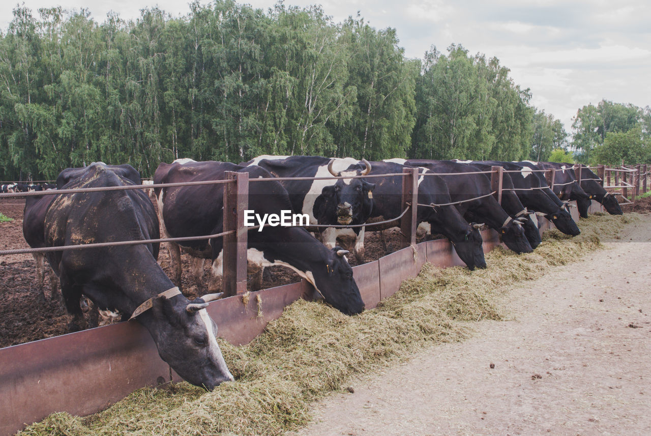 plant, tree, nature, pets, domestic, domestic animals, animal, vertebrate, group of animals, land, livestock, animal themes, day, mammal, field, no people, in a row, cattle, cow, landscape, herbivorous, herd
