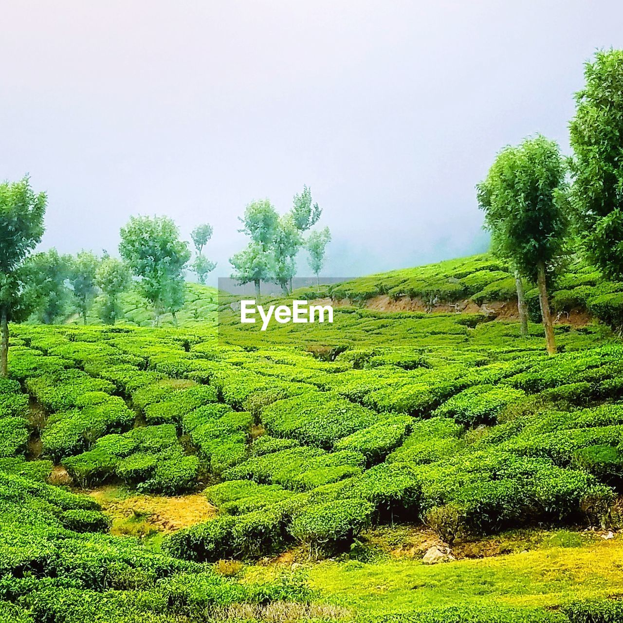 plant, green color, tree, growth, tranquility, beauty in nature, tranquil scene, landscape, scenics - nature, field, land, sky, environment, nature, no people, day, agriculture, crop, tea crop, rural scene, outdoors, plantation