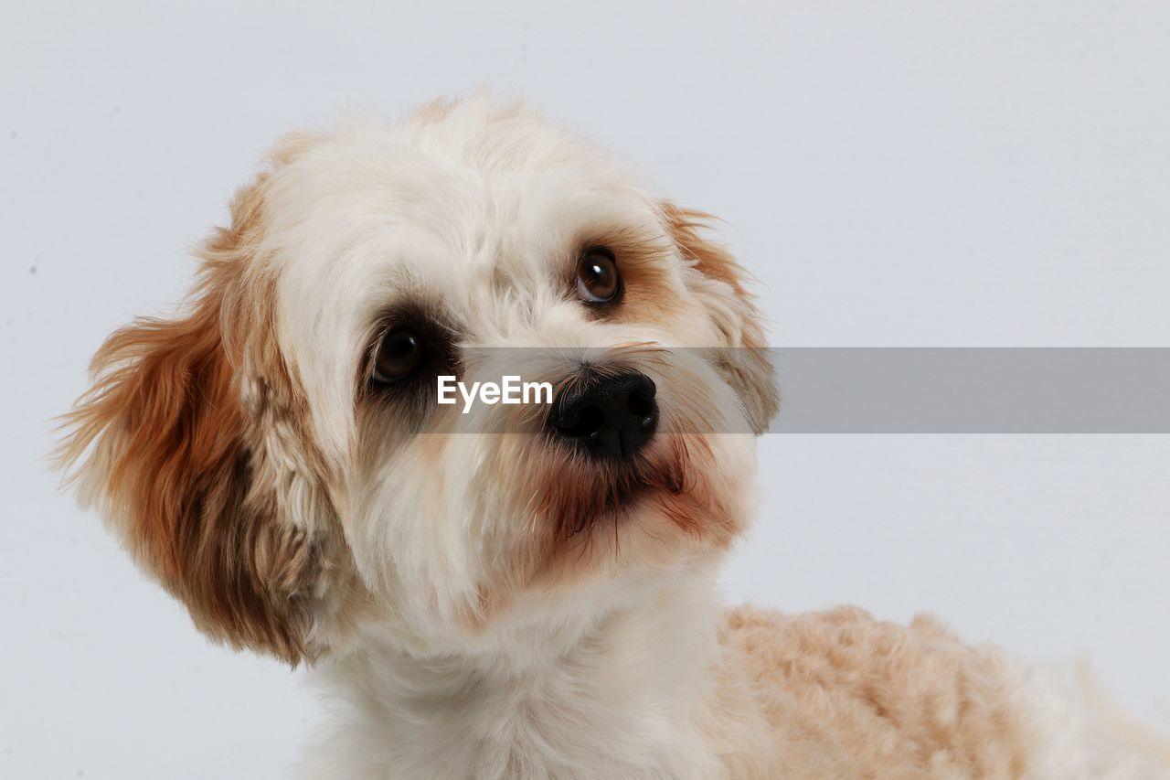 domestic, pets, domestic animals, one animal, mammal, animal themes, animal, dog, canine, vertebrate, portrait, indoors, looking at camera, hair, white background, close-up, animal hair, no people, studio shot, white color, animal head