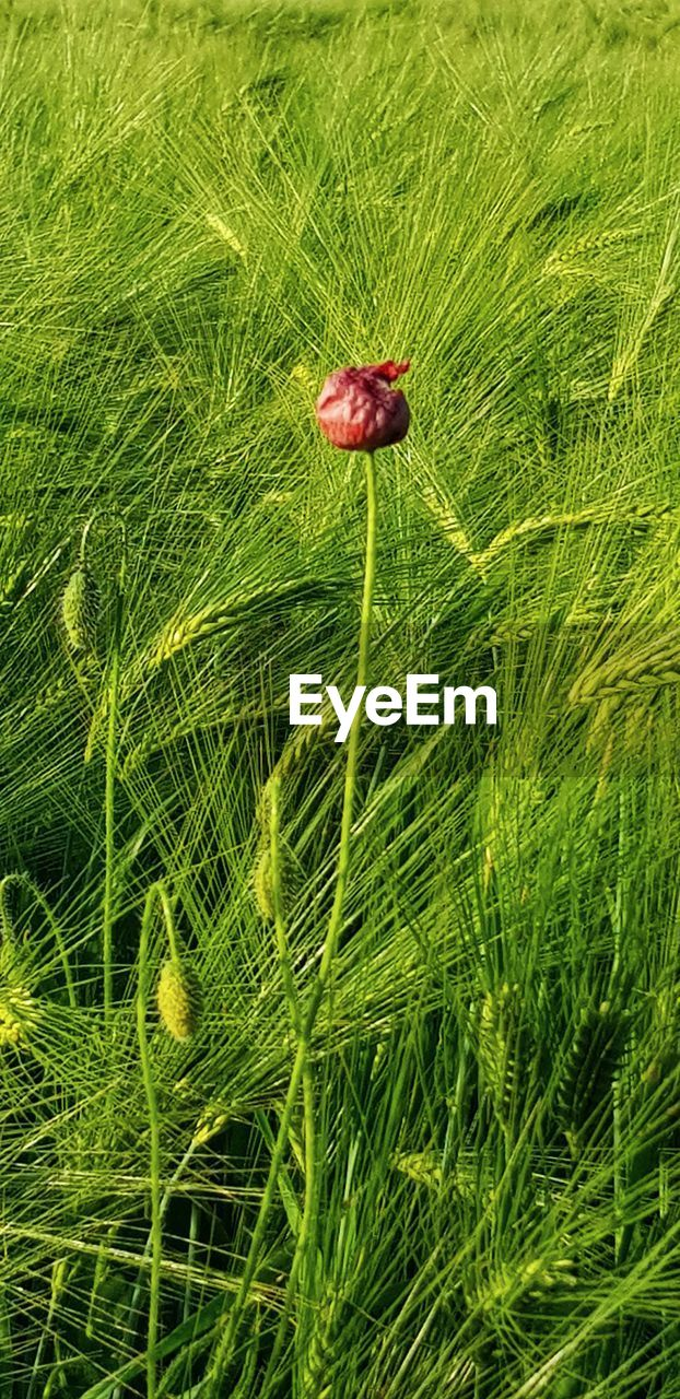 plant, growth, green color, nature, grass, red, no people, land, beauty in nature, close-up, field, day, freshness, outdoors, tranquility, animal, animal wildlife, flower, animal themes, lush foliage