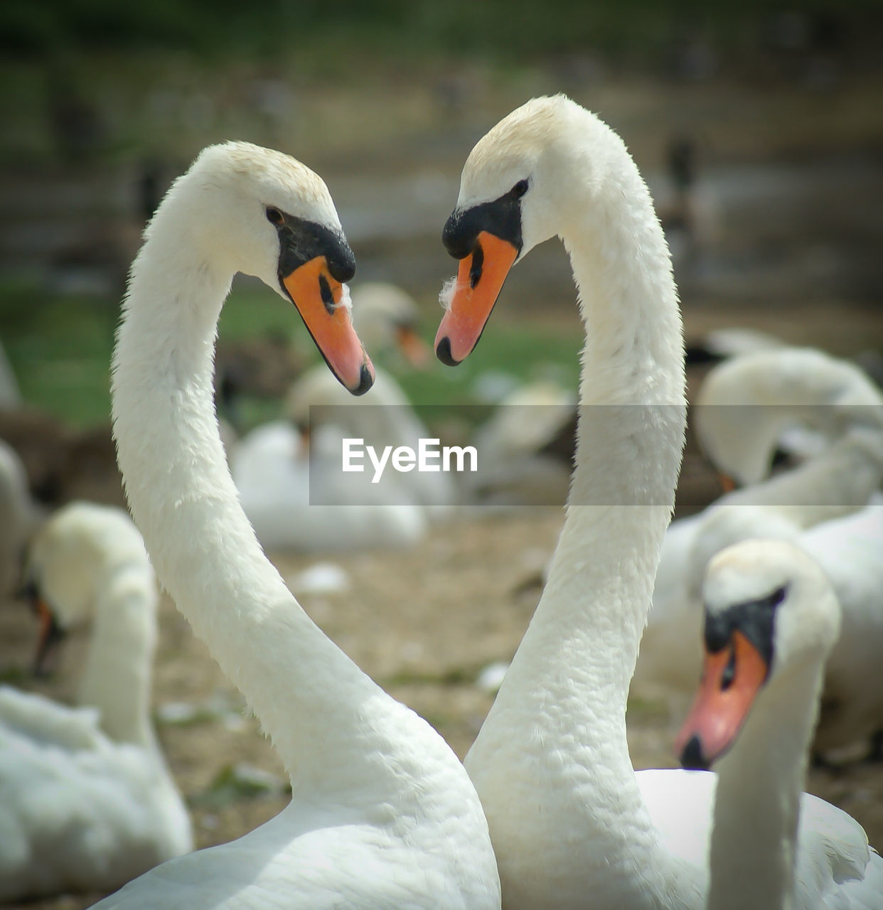 CLOSE-UP OF SWANS SWIMMING ON LAKE