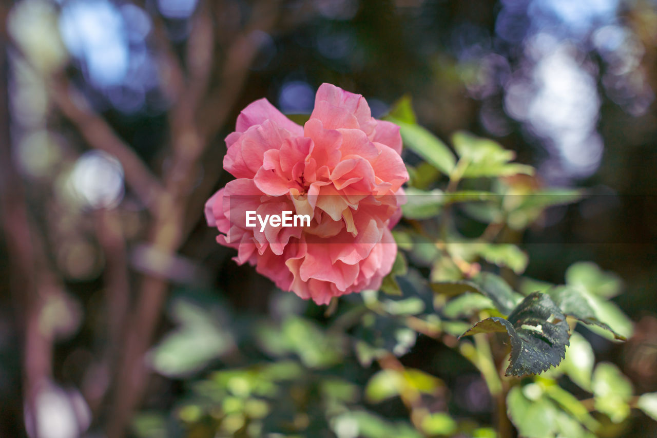 plant, growth, beauty in nature, flower, petal, freshness, fragility, vulnerability, flowering plant, close-up, pink color, inflorescence, flower head, day, nature, no people, leaf, plant part, focus on foreground, rose, outdoors