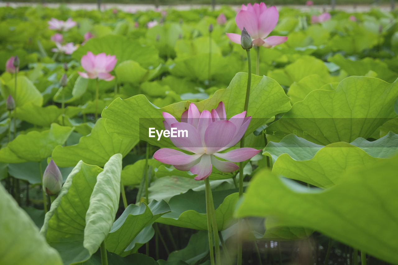 flower, flowering plant, beauty in nature, plant, petal, freshness, fragility, vulnerability, leaf, growth, pink color, plant part, close-up, water lily, flower head, inflorescence, green color, pond, nature, no people, lotus water lily, outdoors, purple