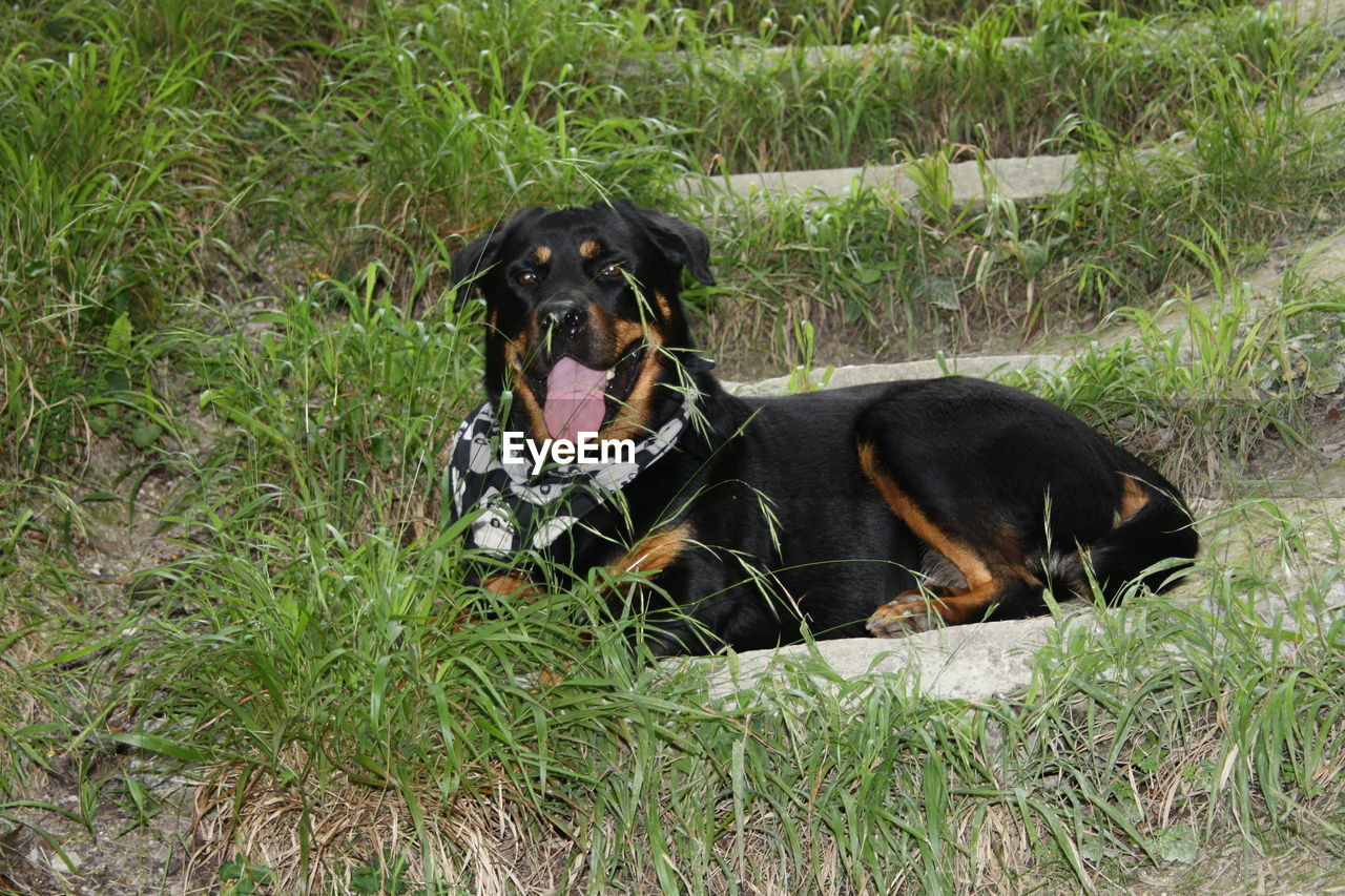 animal, animal themes, canine, dog, mammal, one animal, pets, domestic, domestic animals, vertebrate, grass, plant, relaxation, black color, no people, day, rottweiler, nature, land, field, outdoors, mouth open, animal head