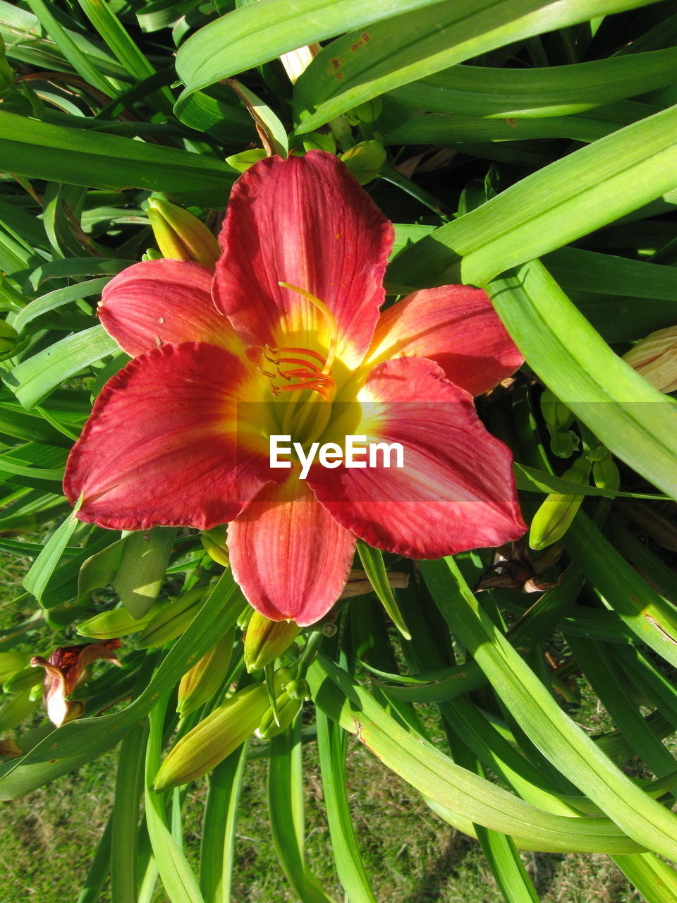 flower, growth, petal, nature, plant, beauty in nature, no people, flower head, freshness, red, outdoors, fragility, blooming, day lily, day, close-up