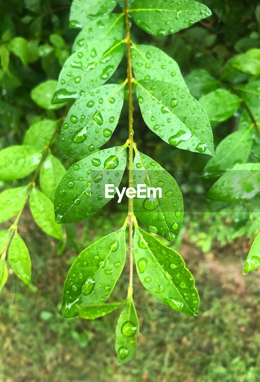 plant part, leaf, green color, growth, drop, plant, nature, water, close-up, wet, no people, beauty in nature, day, focus on foreground, freshness, outdoors, clover, tranquility, leaf vein, leaves, rain, dew, raindrop, purity, rainy season