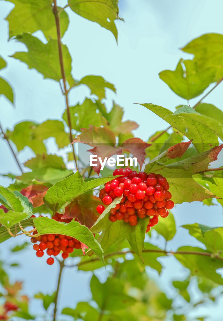 fruit, healthy eating, leaf, plant part, food and drink, food, red, berry fruit, growth, plant, freshness, green color, nature, wellbeing, day, close-up, tree, no people, ripe, beauty in nature, outdoors, rowanberry, red currant