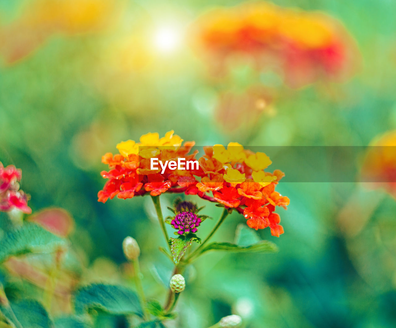 flower, flowering plant, plant, beauty in nature, vulnerability, fragility, close-up, freshness, growth, selective focus, no people, petal, nature, focus on foreground, day, flower head, inflorescence, yellow, orange color, outdoors, lantana