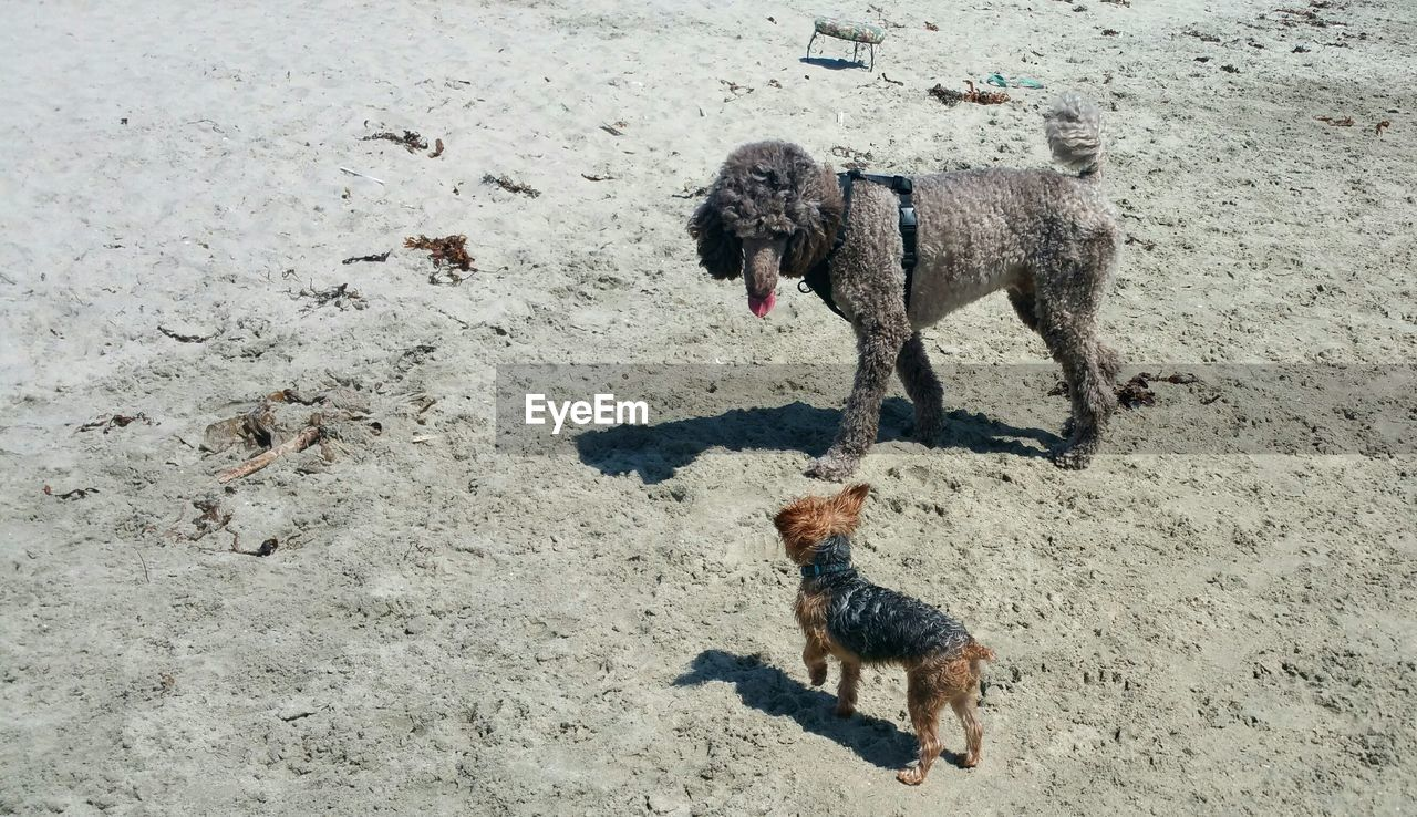 High angle view of dog and puppy at beach during sunny day