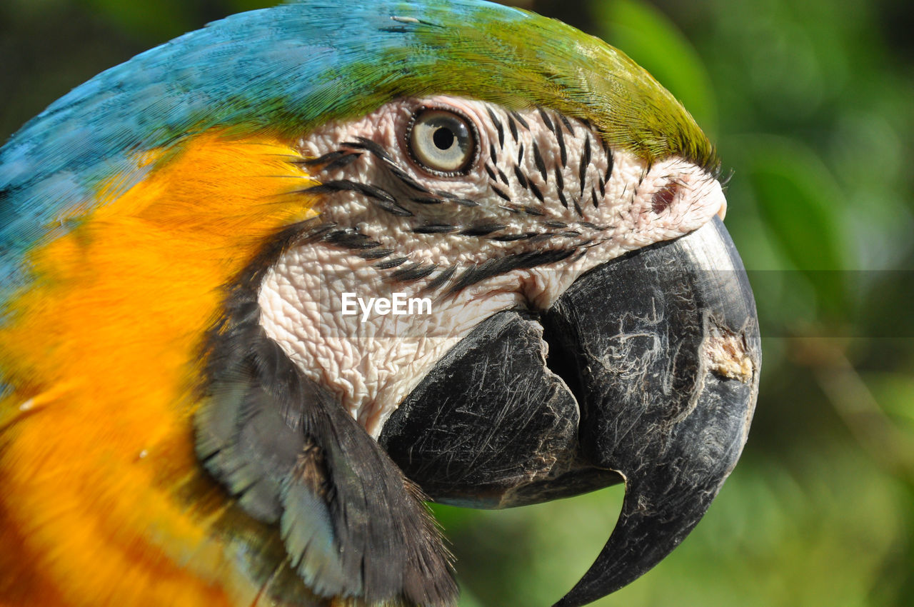 animals in the wild, animal wildlife, bird, vertebrate, animal themes, animal, one animal, close-up, focus on foreground, beak, no people, day, looking away, parrot, nature, outdoors, animal head, looking, animal body part, macaw, animal eye