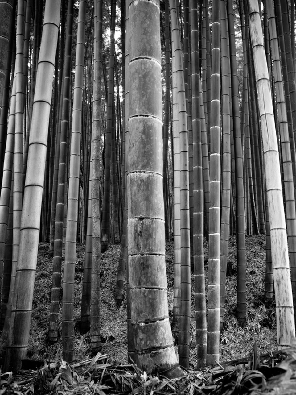 forest, land, no people, architecture, architectural column, trunk, bamboo - plant, tree trunk, tree, plant, day, nature, built structure, woodland, growth, outdoors, history, the past, bamboo, tall - high