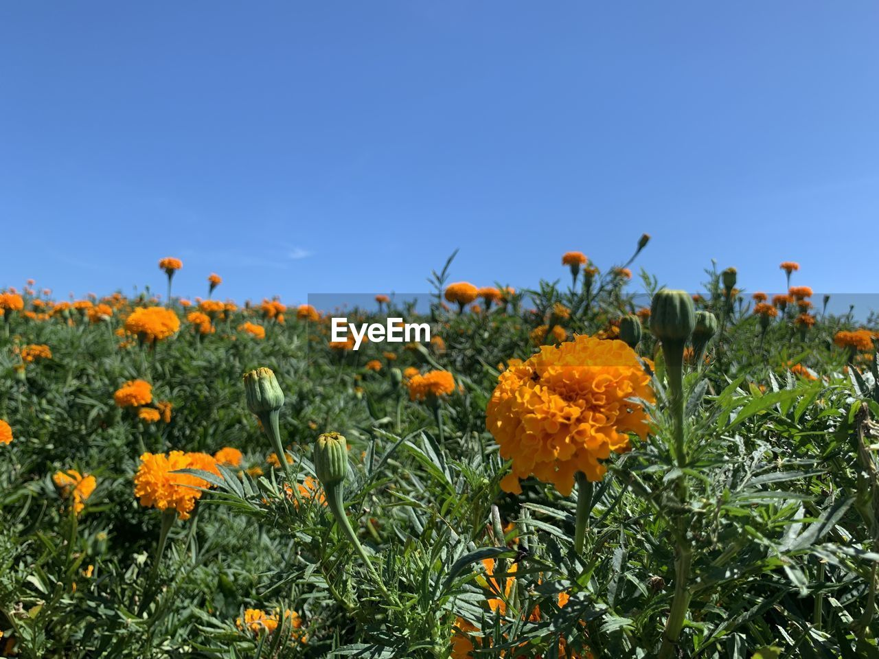 flowering plant, flower, plant, growth, beauty in nature, freshness, fragility, vulnerability, sky, nature, land, orange color, field, blue, petal, no people, flower head, close-up, clear sky, inflorescence, outdoors, flowerbed