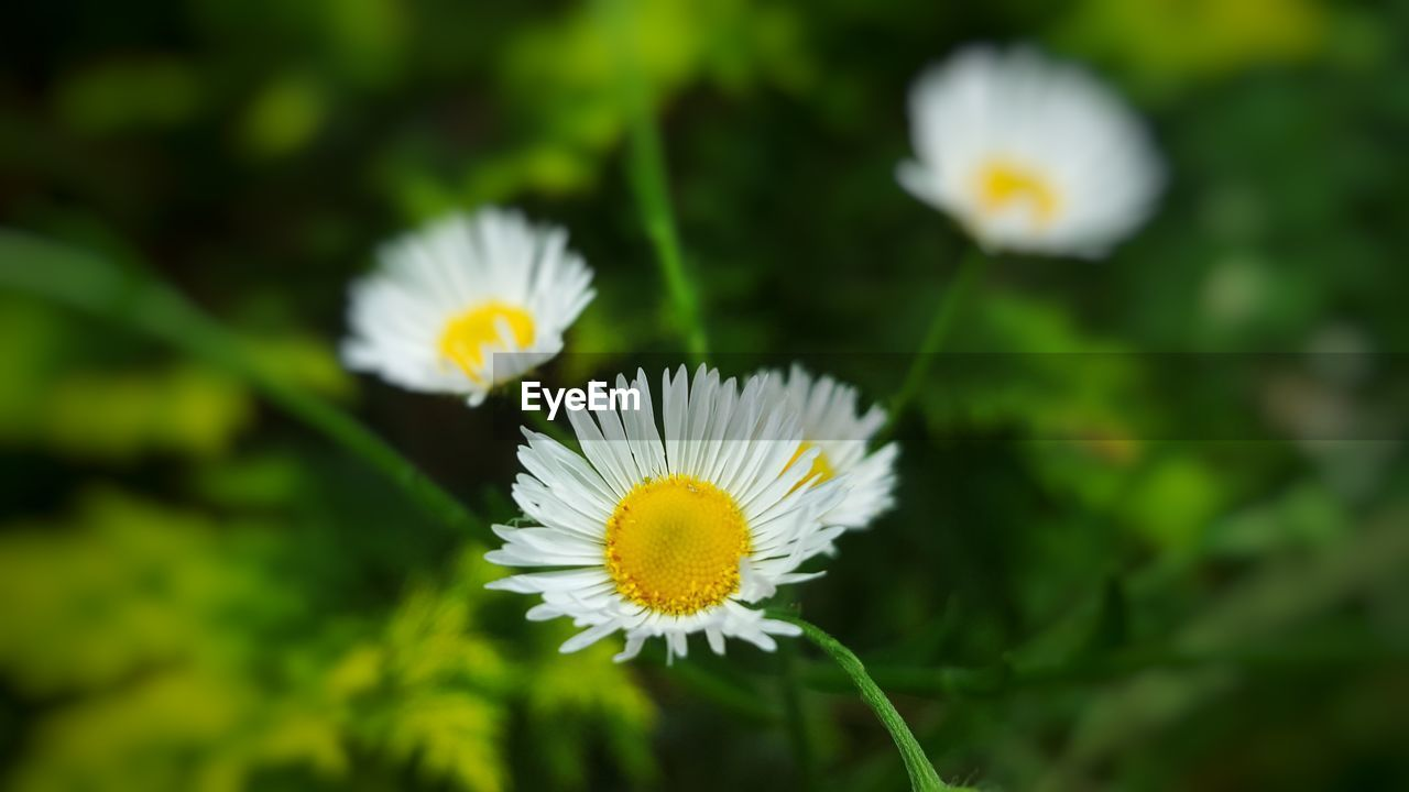 flower, petal, fragility, flower head, nature, white color, beauty in nature, freshness, growth, daisy, yellow, pollen, blooming, no people, plant, close-up, day, outdoors
