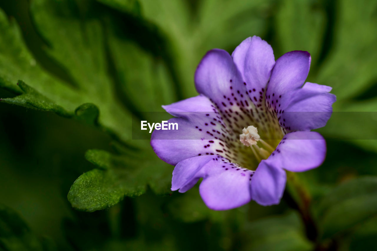 flower, flowering plant, vulnerability, fragility, freshness, plant, beauty in nature, petal, flower head, growth, inflorescence, close-up, purple, pollen, no people, nature, selective focus, day, focus on foreground
