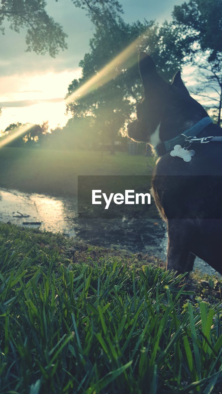 dog, grass, domestic animals, one animal, pets, animal themes, mammal, nature, field, outdoors, growth, water, no people, day, sunset, beauty in nature, sky, tree