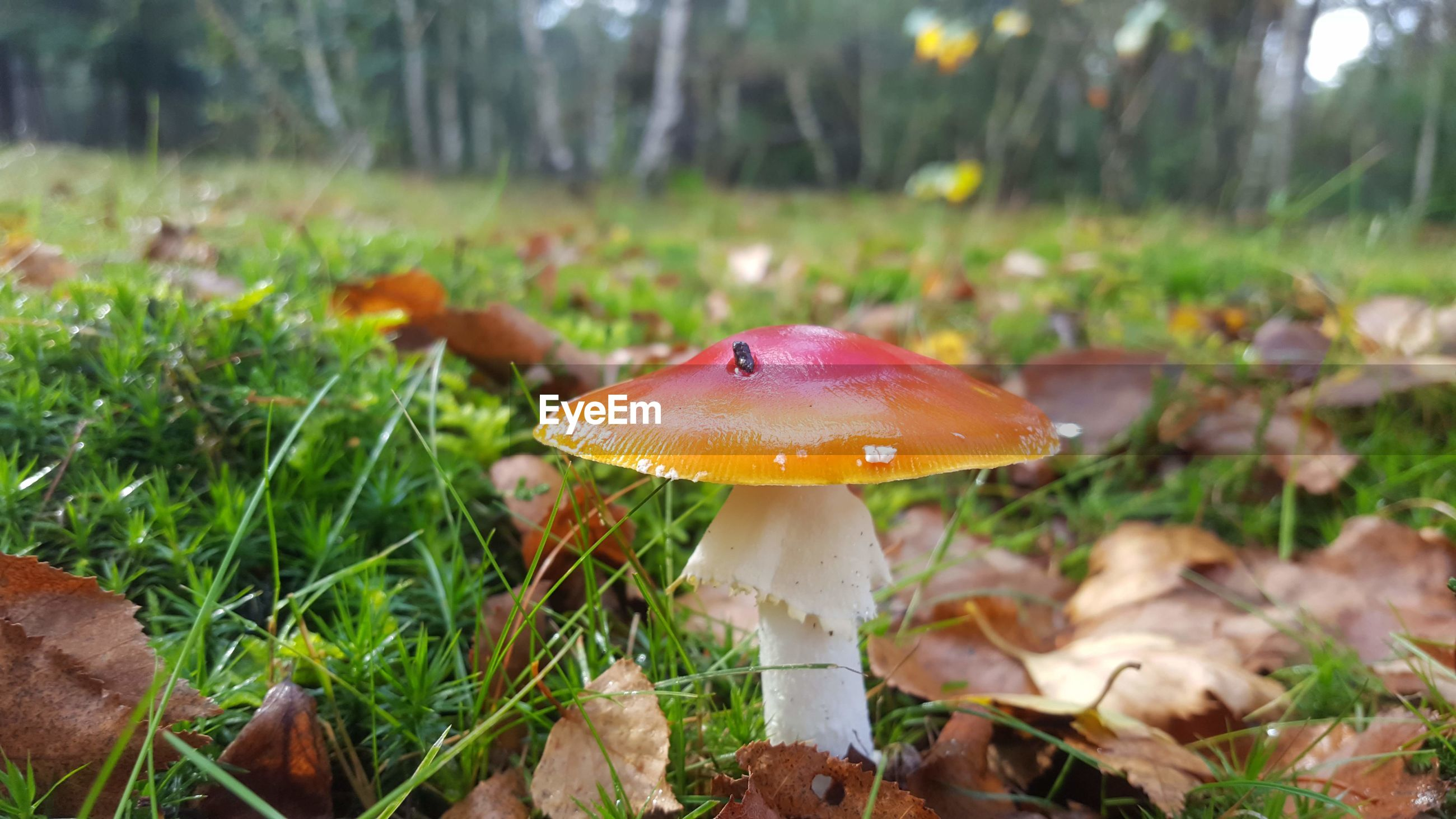 CLOSE-UP OF MUSHROOMS ON FIELD