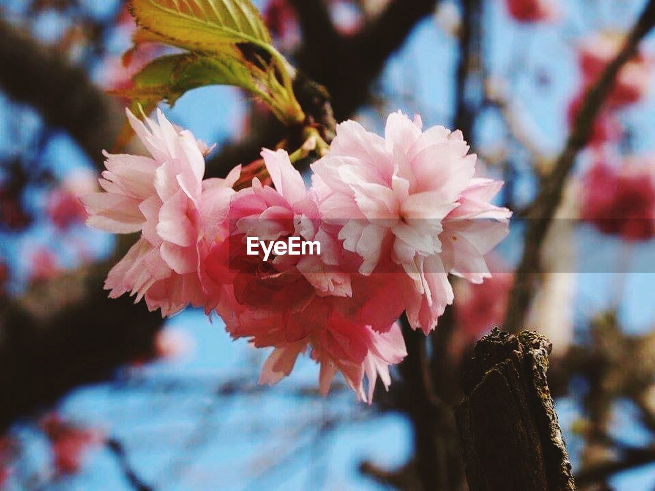 flower, flowering plant, plant, fragility, freshness, beauty in nature, vulnerability, growth, pink color, close-up, focus on foreground, tree, petal, nature, blossom, day, branch, no people, springtime, flower head, outdoors, cherry blossom, bunch of flowers, cherry tree