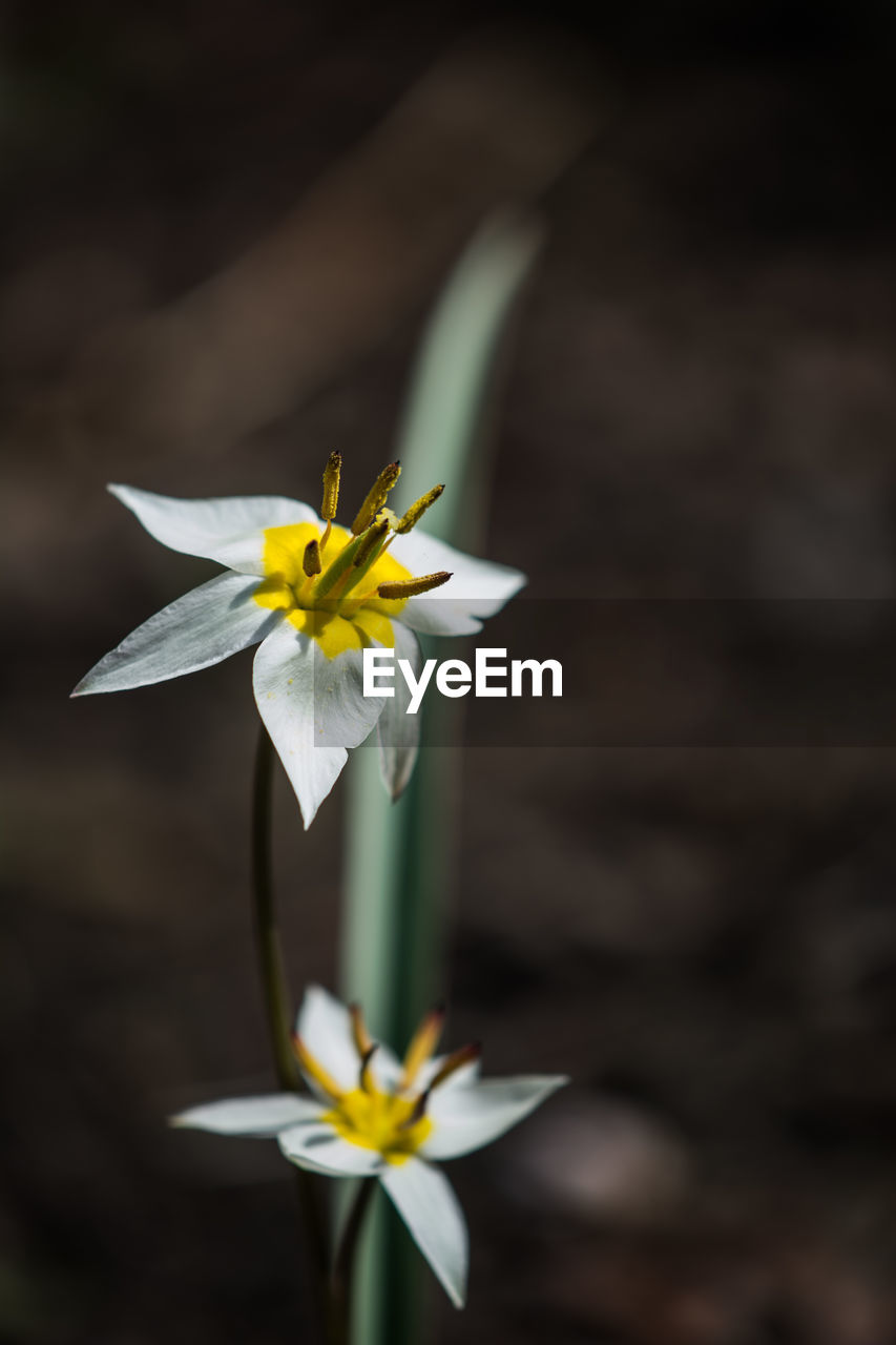flowering plant, flower, vulnerability, fragility, freshness, petal, beauty in nature, flower head, inflorescence, plant, close-up, yellow, nature, focus on foreground, growth, no people, pollen, day, selective focus, daffodil, outdoors