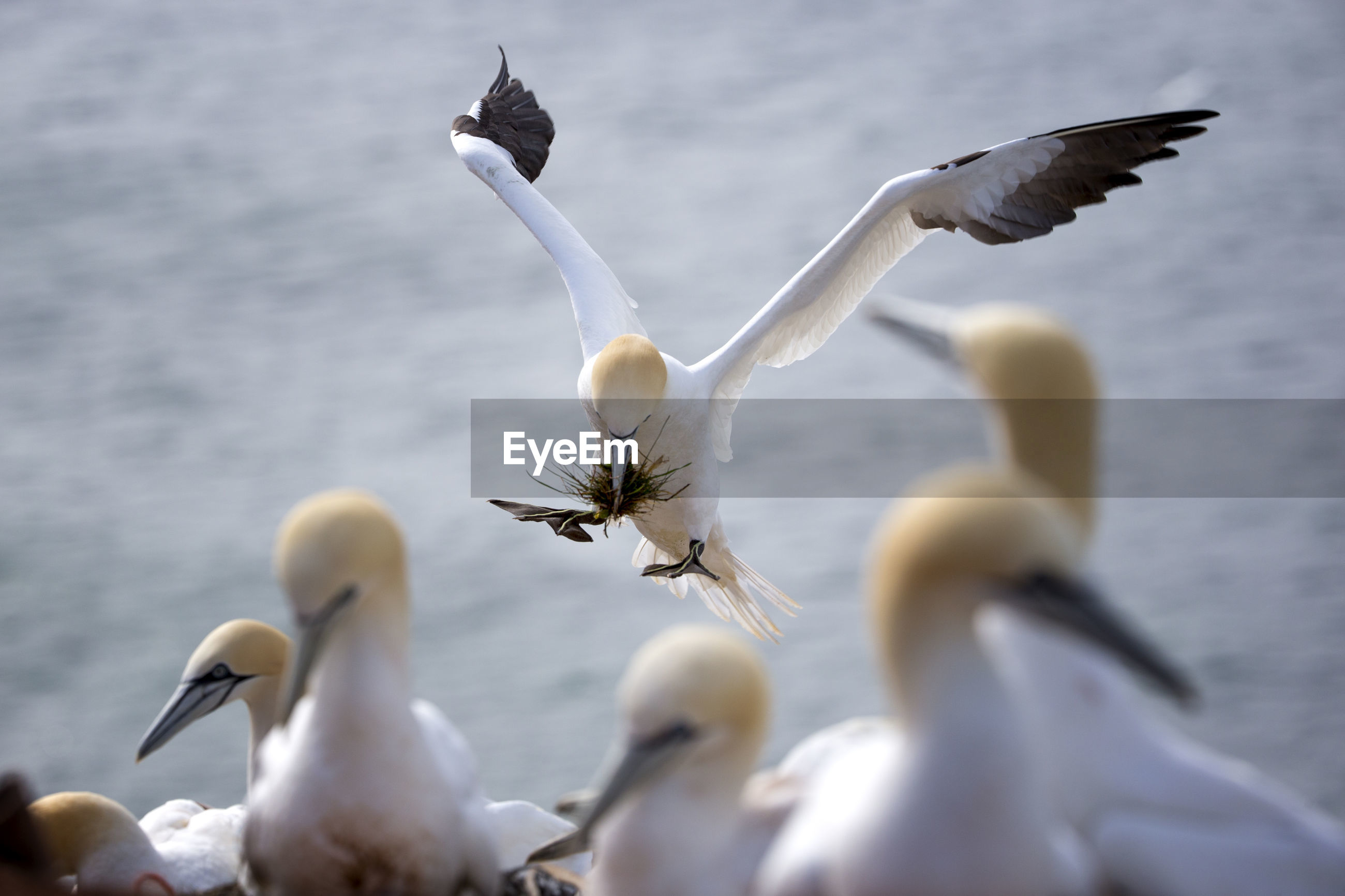 CLOSE-UP OF SWAN FLYING BY LAKE