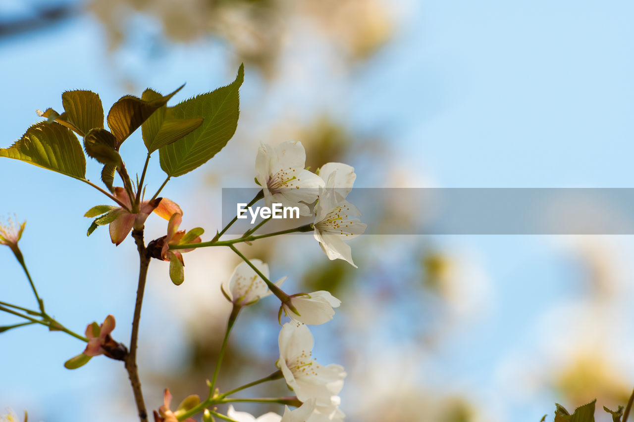 flower, flowering plant, growth, plant, fragility, vulnerability, beauty in nature, freshness, close-up, petal, focus on foreground, no people, nature, day, flower head, white color, tree, low angle view, blossom, springtime, cherry blossom