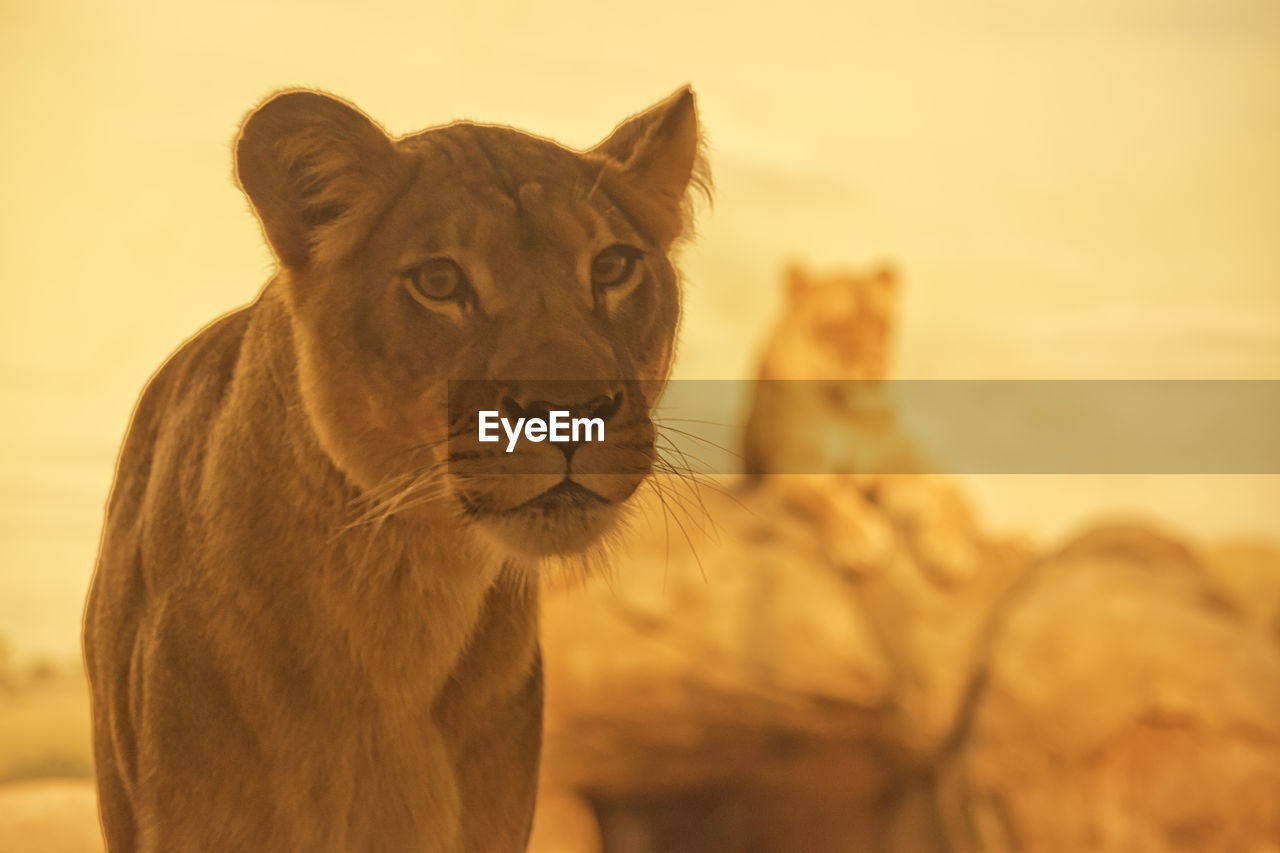 animal themes, animal, mammal, feline, one animal, animal wildlife, cat, focus on foreground, animals in the wild, vertebrate, no people, big cat, close-up, carnivora, nature, lion - feline, looking away, looking, day, outdoors, animal head, whisker