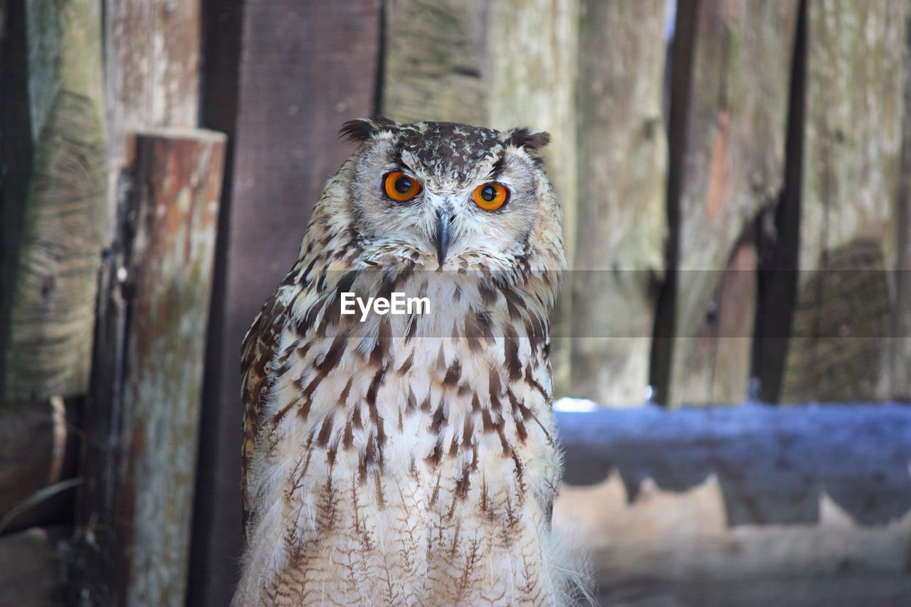 Portrait Of An Owl Against Wooden Wall