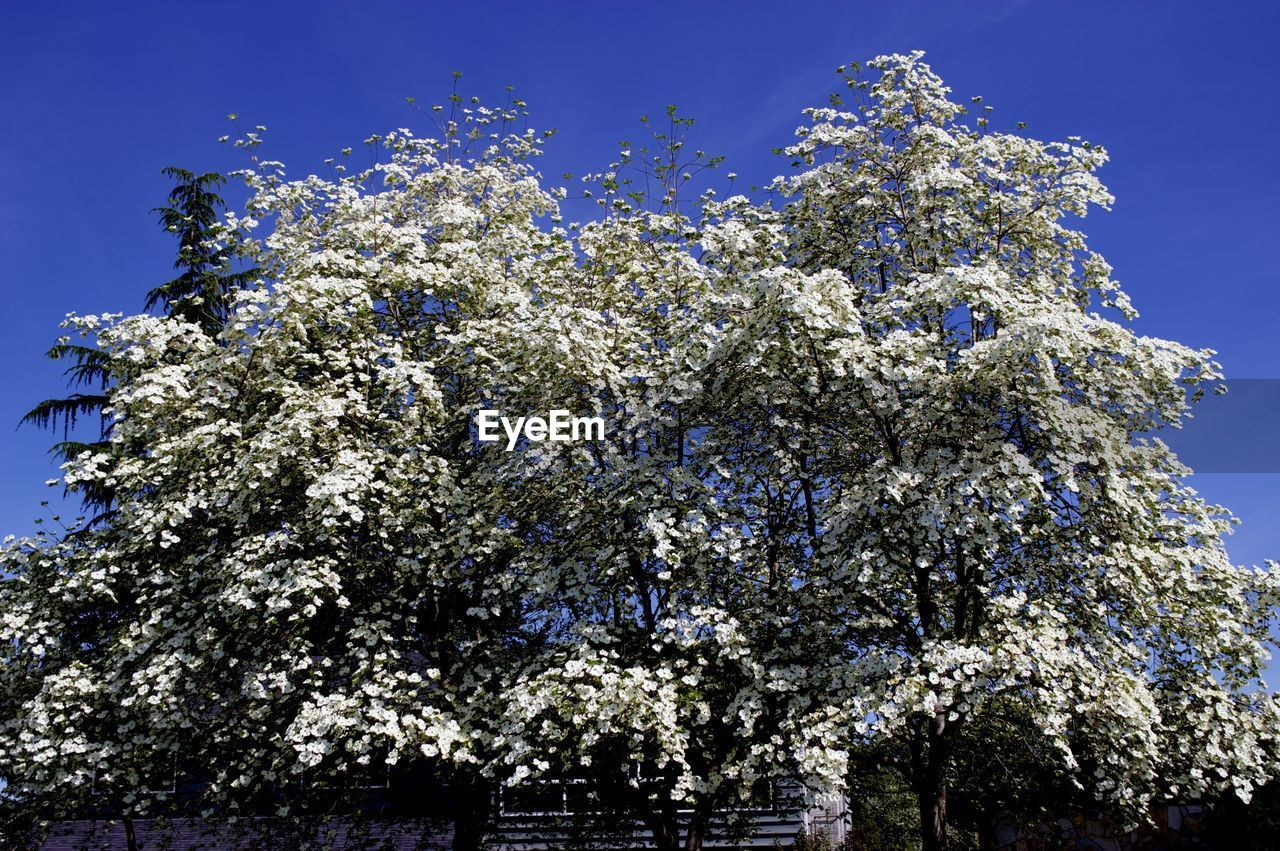 tree, flower, growth, low angle view, nature, blossom, branch, no people, clear sky, beauty in nature, day, freshness, fragility, outdoors, sky