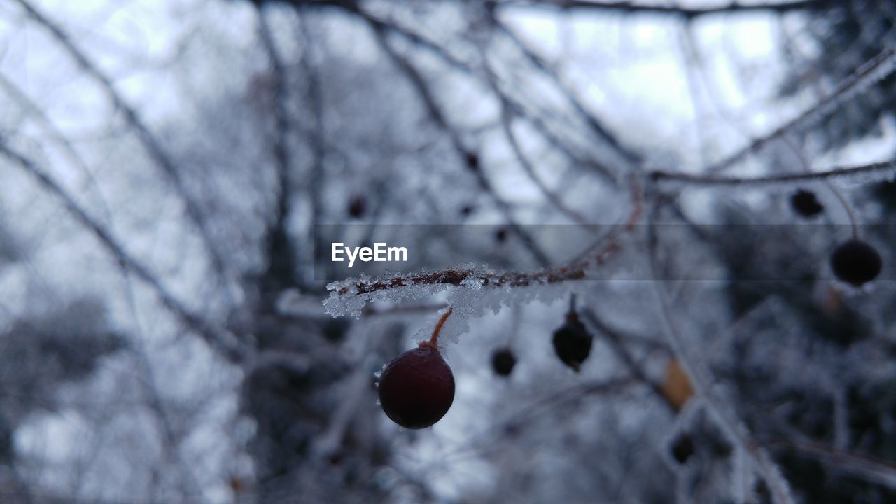 winter, cold temperature, branch, nature, snow, tree, beauty in nature, weather, fruit, twig, focus on foreground, frozen, close-up, day, outdoors, no people, rose hip, frost, red, growth, bare tree, catkin, freshness, fragility