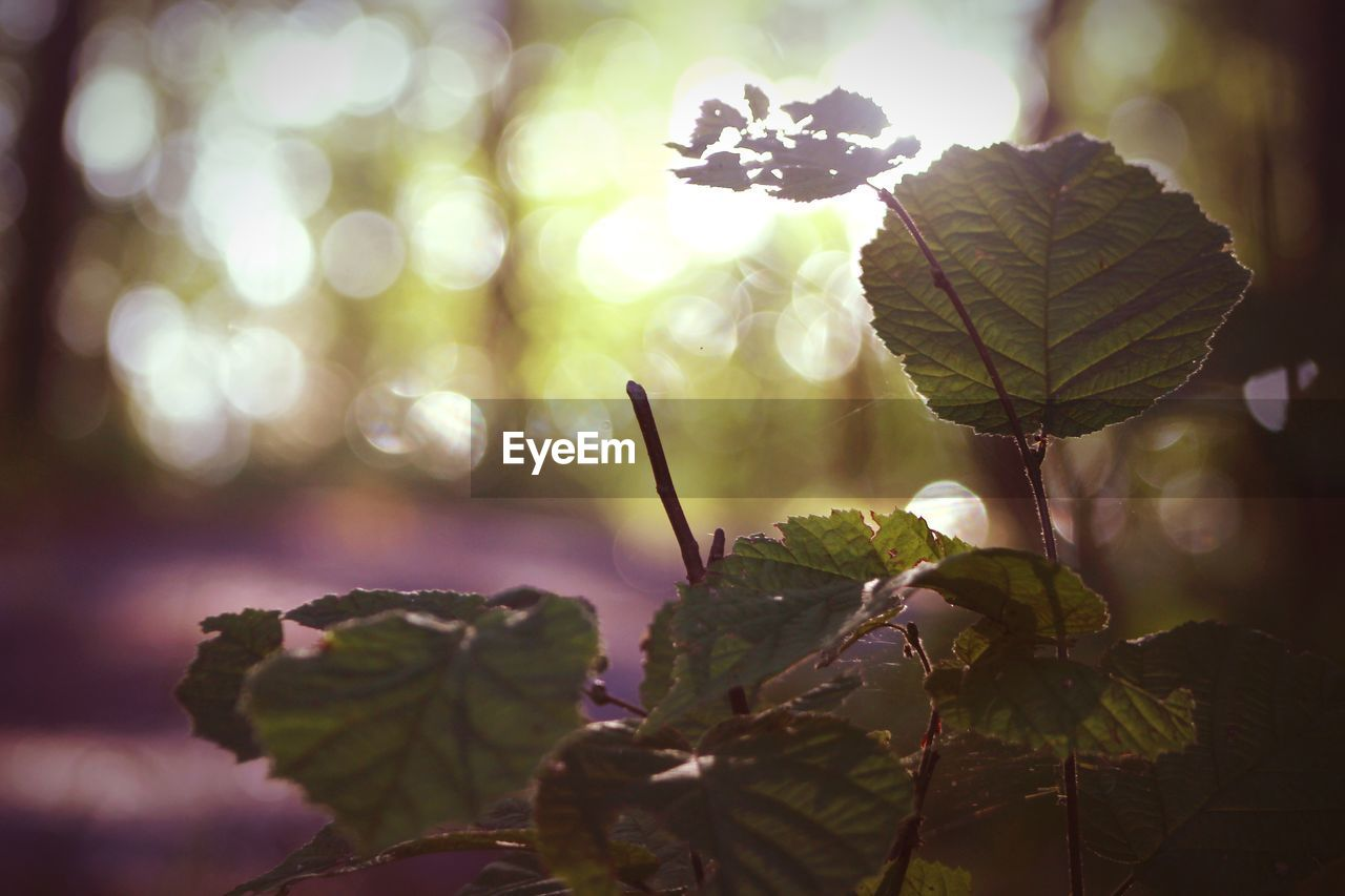 leaf, plant part, plant, growth, close-up, beauty in nature, focus on foreground, nature, no people, day, green color, selective focus, outdoors, freshness, tree, sunlight, tranquility, vulnerability, fragility, plant stem, leaves