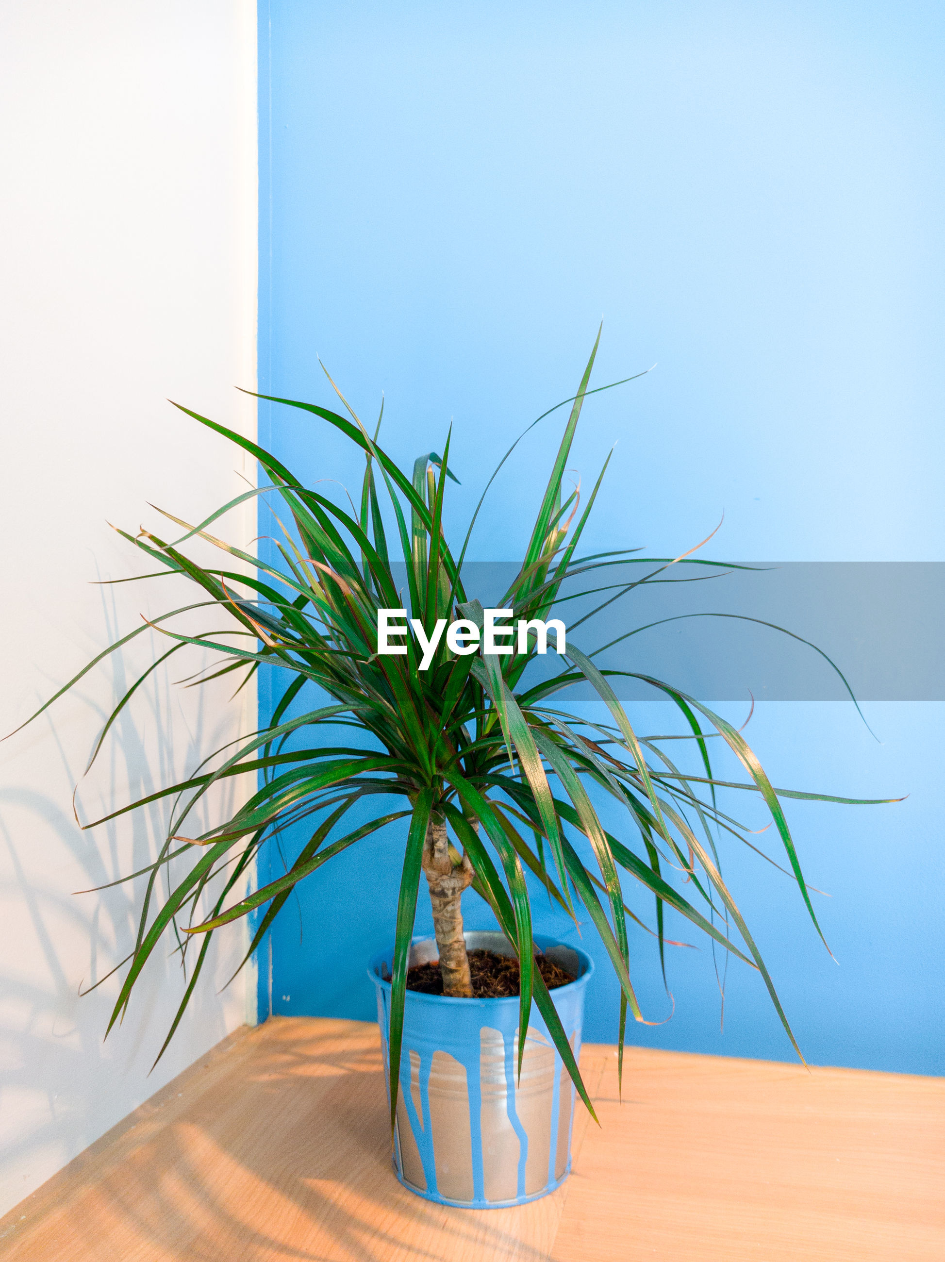 Close-up of potted plant on wooden table by wall