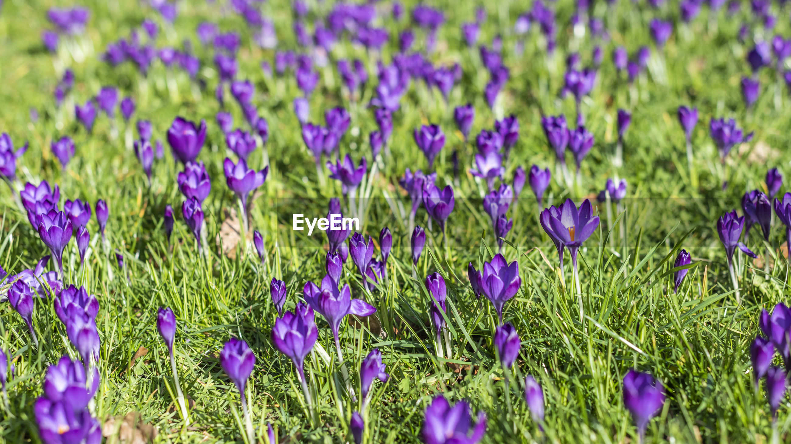 Detail photograph of the group of the spring crocus flowers in the green grass in the sun light