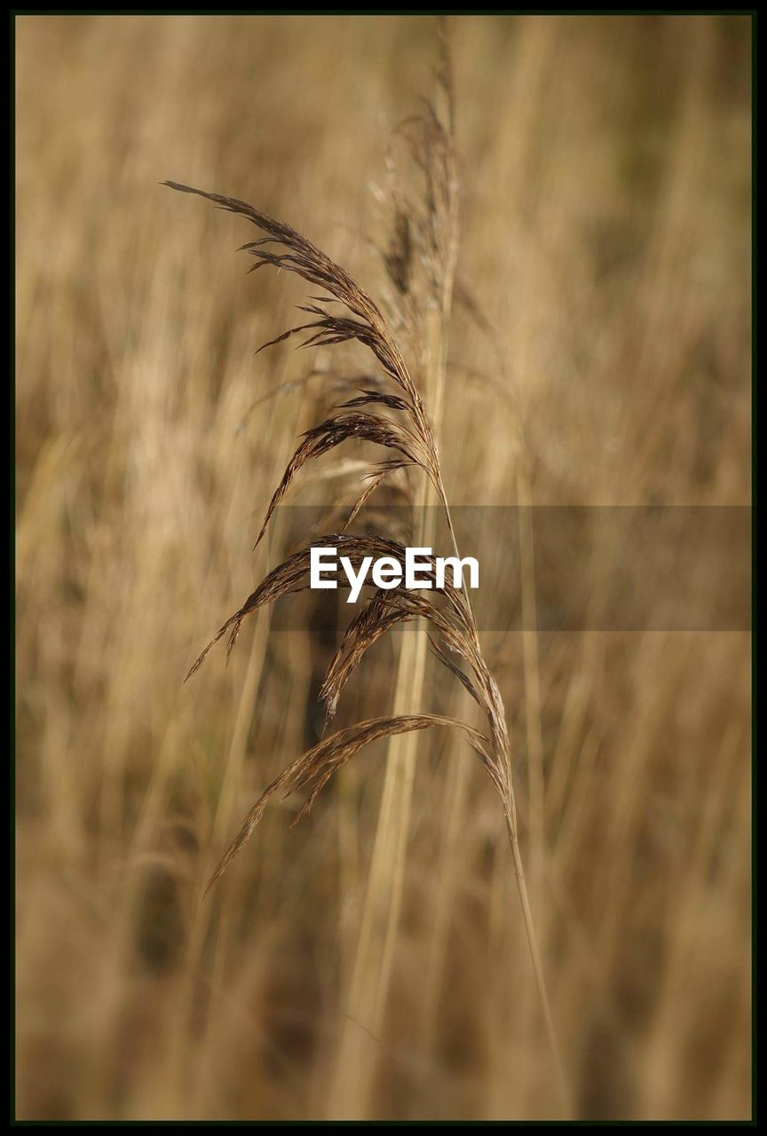 cereal plant, nature, growth, wheat, plant, field, agriculture, crop, close-up, ear of wheat, beauty in nature, no people, outdoors, straw, tranquility, tranquil scene, focus on foreground, day, grass, scenics, timothy grass, rural scene, freshness