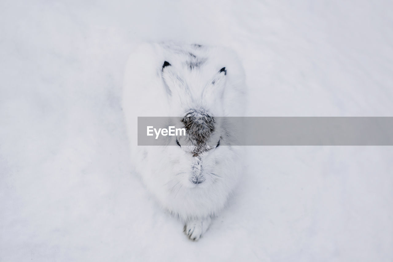one animal, animal themes, animal, mammal, pets, domestic, domestic animals, white color, dog, canine, winter, snow, no people, vertebrate, high angle view, cold temperature, animal body part, relaxation, looking at camera, animal head
